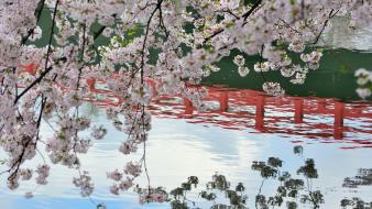Water japan cherry blossoms flowers spring (season) reflections wallpaper