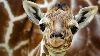 Animals amsterdam giraffes baby wallpaper