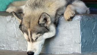 Animals dogs husky sleeping noses wallpaper