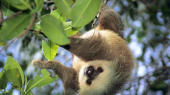 Animals leaves sloth panama wallpaper
