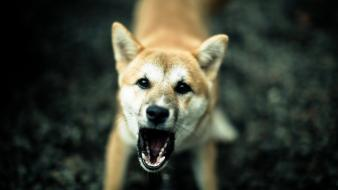 Close-up animals dogs angry shiba inu blurred background Wallpaper