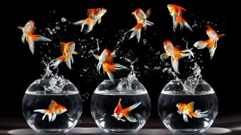 Happy fish goldfish black background bowls wallpaper