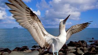Islands blue-footed boobies ecuador galapagos birds wallpaper