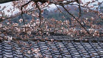 Japan cherry blossoms flowers flowered trees roofs wallpaper
