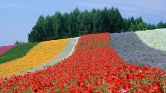 Japan multicolor flowers fields spring (season) poppies wallpaper