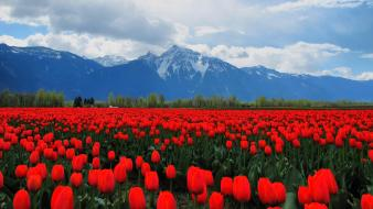 Mountains landscapes nature flowers tulips red wallpaper