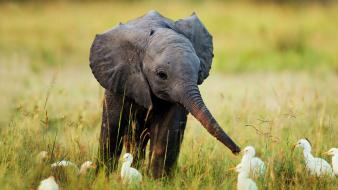 Nature animals grass baby elephant egrets wallpaper