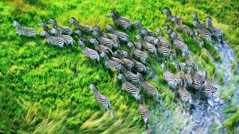 Nature animals zebras hdr photography grassland wallpaper