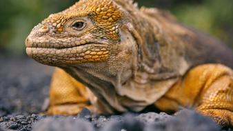 Reptiles iguana land ecuador wallpaper