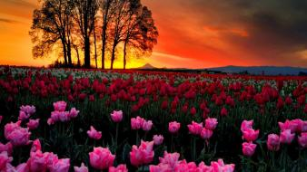 Sunset landscapes trees flowers tulips wallpaper
