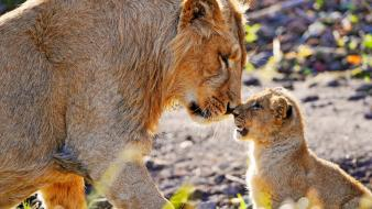 Animals cubs lions baby wallpaper