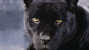 Animals panthers black panther Wallpaper