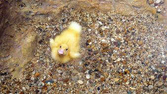 Animals stones feathers duckling baby birds wallpaper