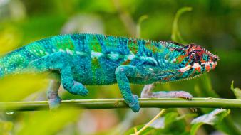 Blue chameleon lizard Wallpaper