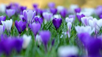Flowers crocus depth of field purple wallpaper