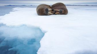 Ice animals norway sleeping walrus Wallpaper