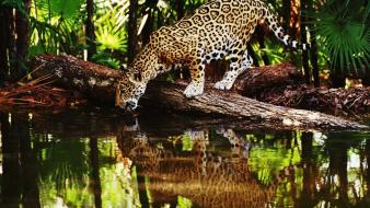 Water jungle animals reflections jaguars palm leaves wallpaper