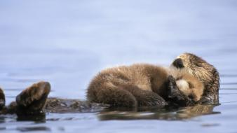 Animals alaska otters gulf baby sea wallpaper