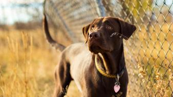 Animals dogs chain link fence wallpaper
