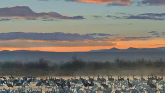 Apache wildlife national cranes new mexico geese Wallpaper