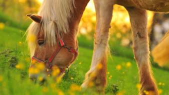 Grass national geographic switzerland ponies yellow flowers wallpaper