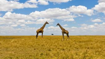 Landscapes nature animals national geographic kenya giraffes wallpaper