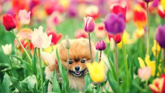 Nature flowers dogs tulips complex magazine wallpaper