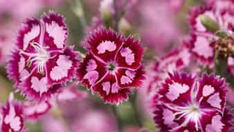 Nature flowers sweet william wallpaper