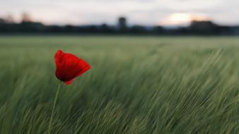 Of field red flowers poppies blurred background wallpaper