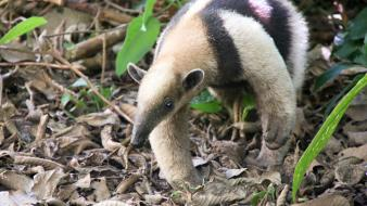 Animals anteater wallpaper