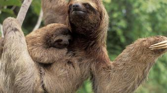 Animals sloth wallpaper