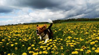 Clouds nature flowers dogs running beagle wallpaper