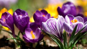 Flowers crocus purple wallpaper
