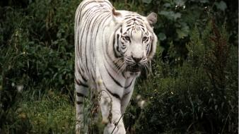 Green nature animals grass white tiger wallpaper