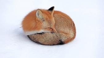 Nature snow red animals firefox yukon foxes wallpaper