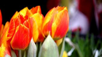 Nature tulips orange flowers blurred background wallpaper