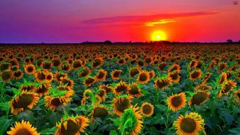 Sunset landscapes nature flowers fields sunflowers wallpaper