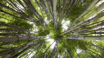 Green trees forest bamboo looking up wallpaper