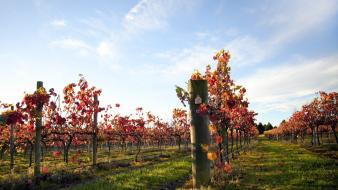 Landscapes nature plantation vineyard ranks wallpaper