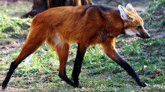Maned wolf chrysocyon brachyurus Wallpaper