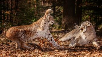 Nature forests animals lynx attack Wallpaper