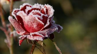 Nature red focus frost roses Wallpaper