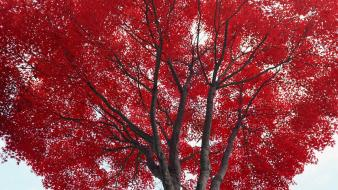 Nature trees red skies branch maple wallpaper