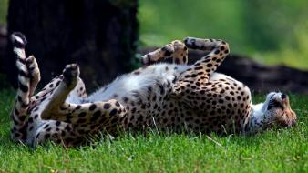 Predator animals grass cheetahs sleeping lying down wild Wallpaper
