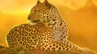 Sunset landscapes nature animals mara leopards kenya wallpaper