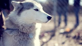 Animals dogs huskies wallpaper