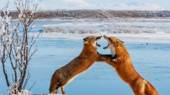 Animals fighting foxes snow landscapes wallpaper