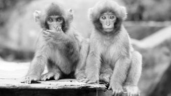 Animals grayscale monkeys wallpaper