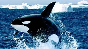 Animals killer whales wallpaper