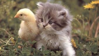 Animals kittens chicks (chickens) birds wallpaper